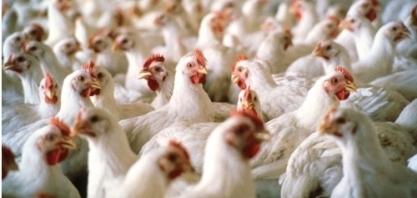Indústria de frango tem cenário favorável para pôr