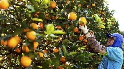 Colheita de laranja  aumenta quase 23% em São Paulo