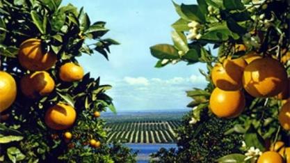 Safra de laranja da principal região do Brasil crescerá 57%