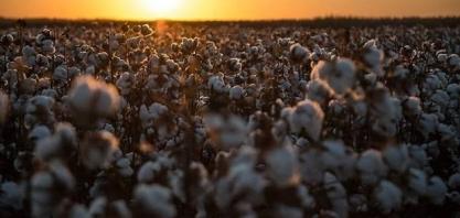 Área de algodão deve dobrar em 5 anos