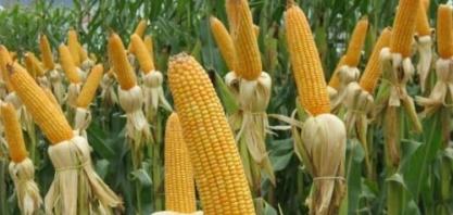 Safra de milho é mercada por indefinição de preços