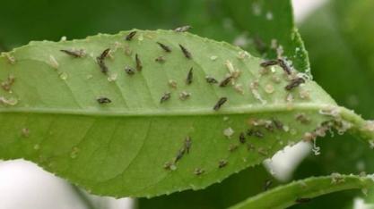 Pesquisa identifica arma contra devastadora doença citrícola greening