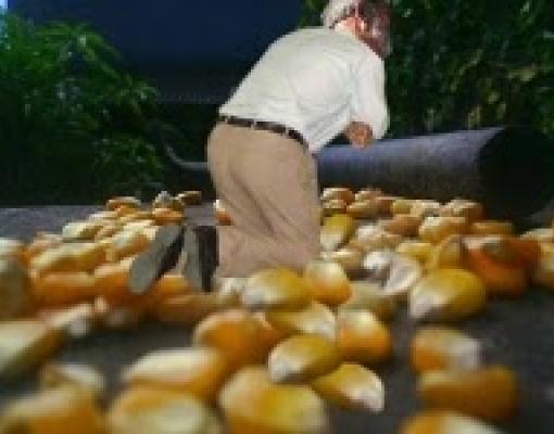 Governo Bolsonaro ajoelha no milho | Brasilagro